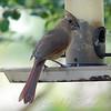 Juvenile Female Cardinal Enjoying A Snack