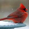 Papa Cardinal In A Snow Storm