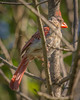 The Ugliest Cardinal
