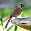 Male Juvenile Cardinal With Black Beak