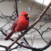 Rainy Day Cardinal