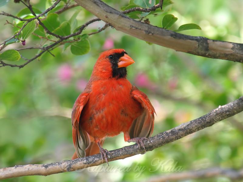 Cardinal Cooling Off