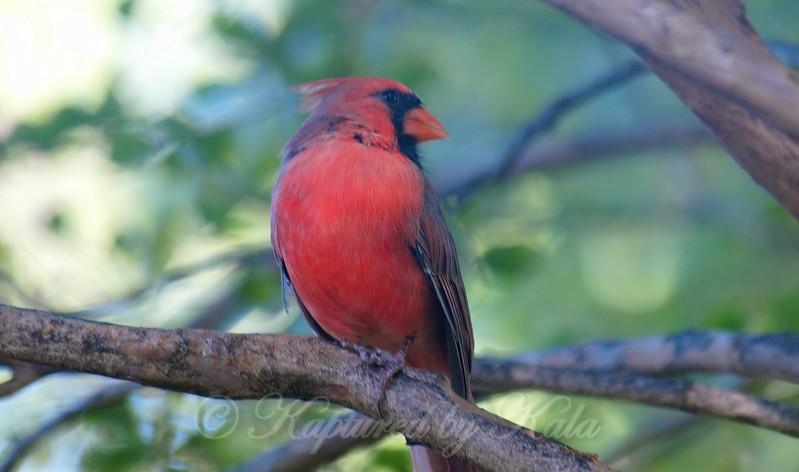 Cardinal Chillin By My Window