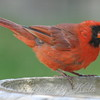 Cardinal At The Bird Bath