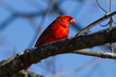 Male Cardinal in Olney in Winter