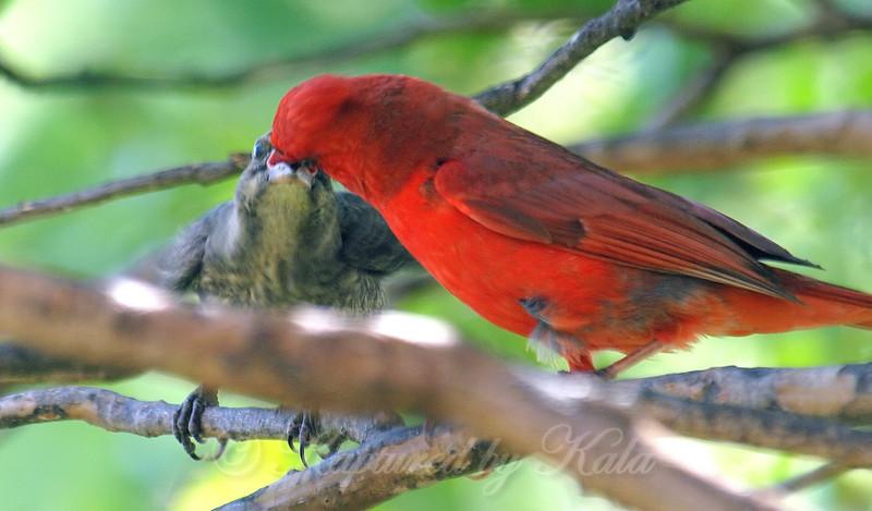 Papa Cardinal Feeding Baby Cowbird