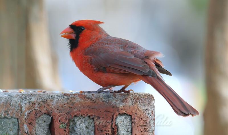 Papa Cardinal Having A Little Snack