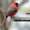 Beautiful Winter Cardinal