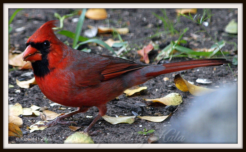 Love the Winter Color of the Male Northern Cardinal