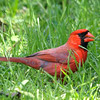 Cardinal In The Grass