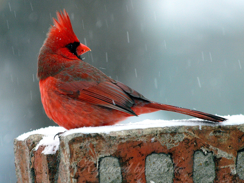 Even When it's Snowing, the Birds Keep an Eye Out for Predators