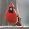 Up Close And Personal With A Cardinal View 1