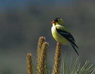 AmericanGoldfinch 28309-1