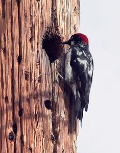 AcornWoodpecker 30477-1