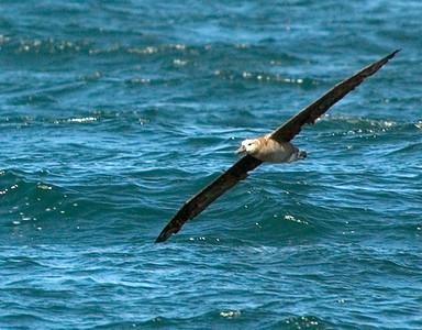 BlackFooted Albatross 32982-1