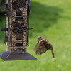 Sparrow in flight~