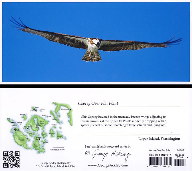 Osprey over Flat Point