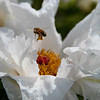 Honeybee, Honeybee~