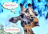 giraffe 41614_0577 3 look same