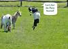 goat dance 042615 0855 4 w txt