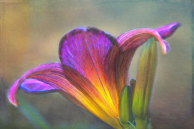 Glowing Lily