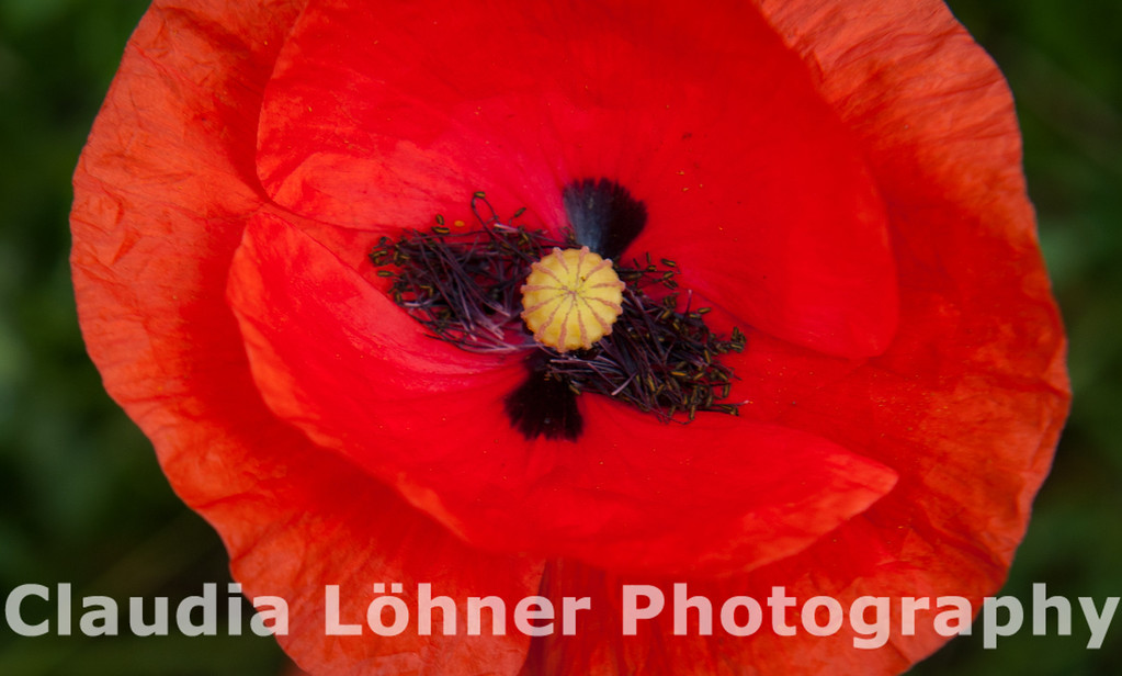 poppies are red
