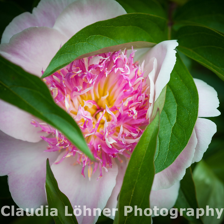 between chaos and simplicity , focus and fuzzy - a peony shows itself