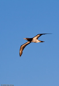 St Kitts - Basseterre Brown Booby