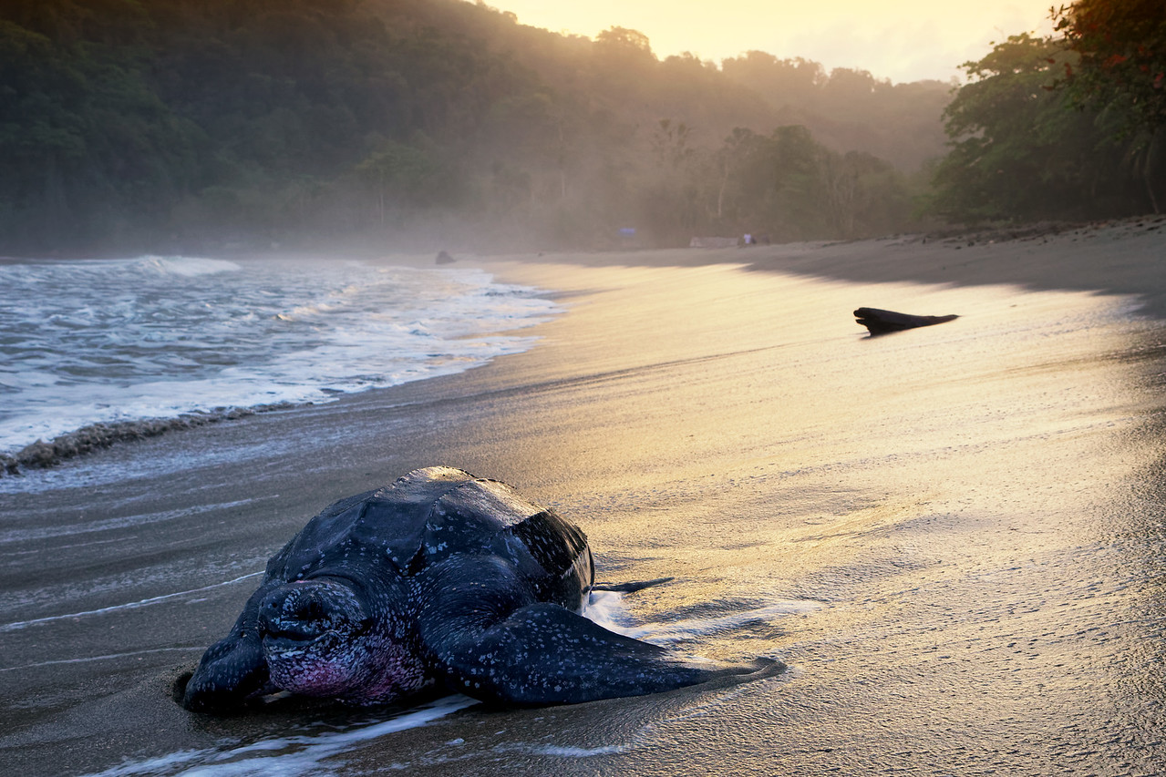Leatherback turtle heads back to the sea, Grand Riviere