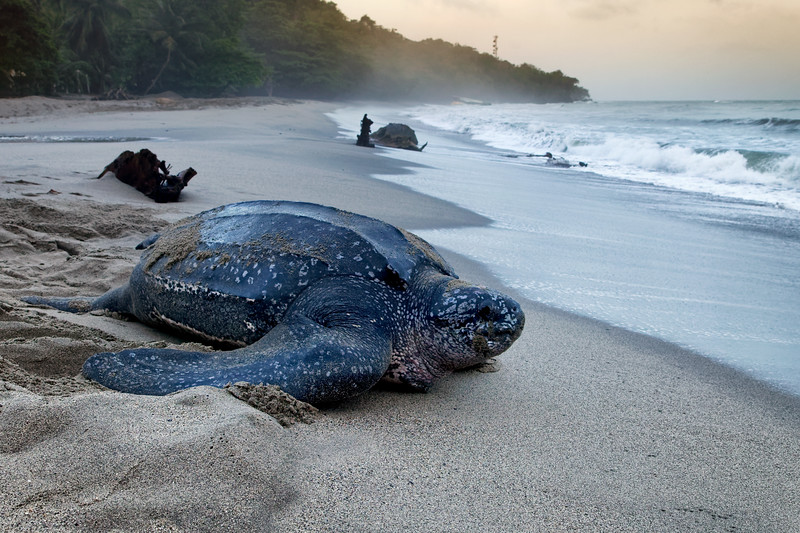 Leatherback turtle, Grand Riviere