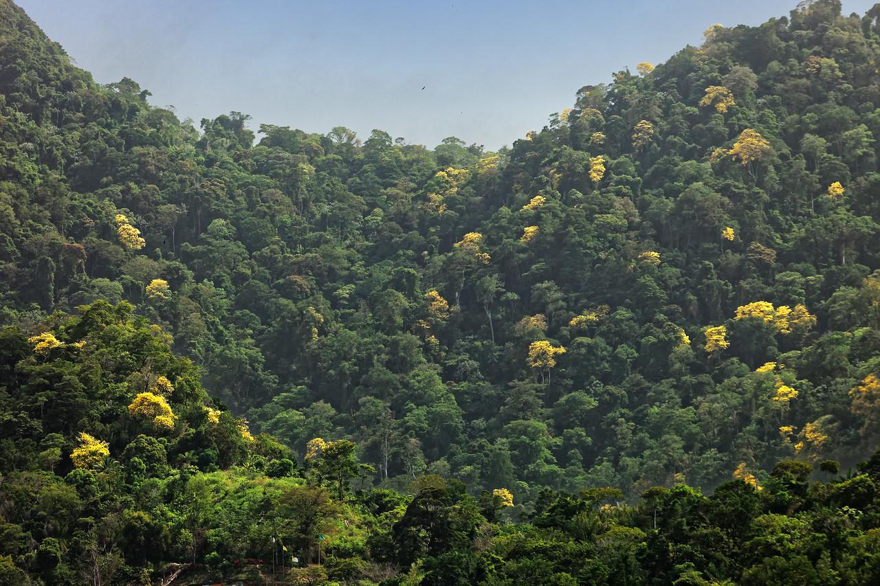 Yellow Poui season