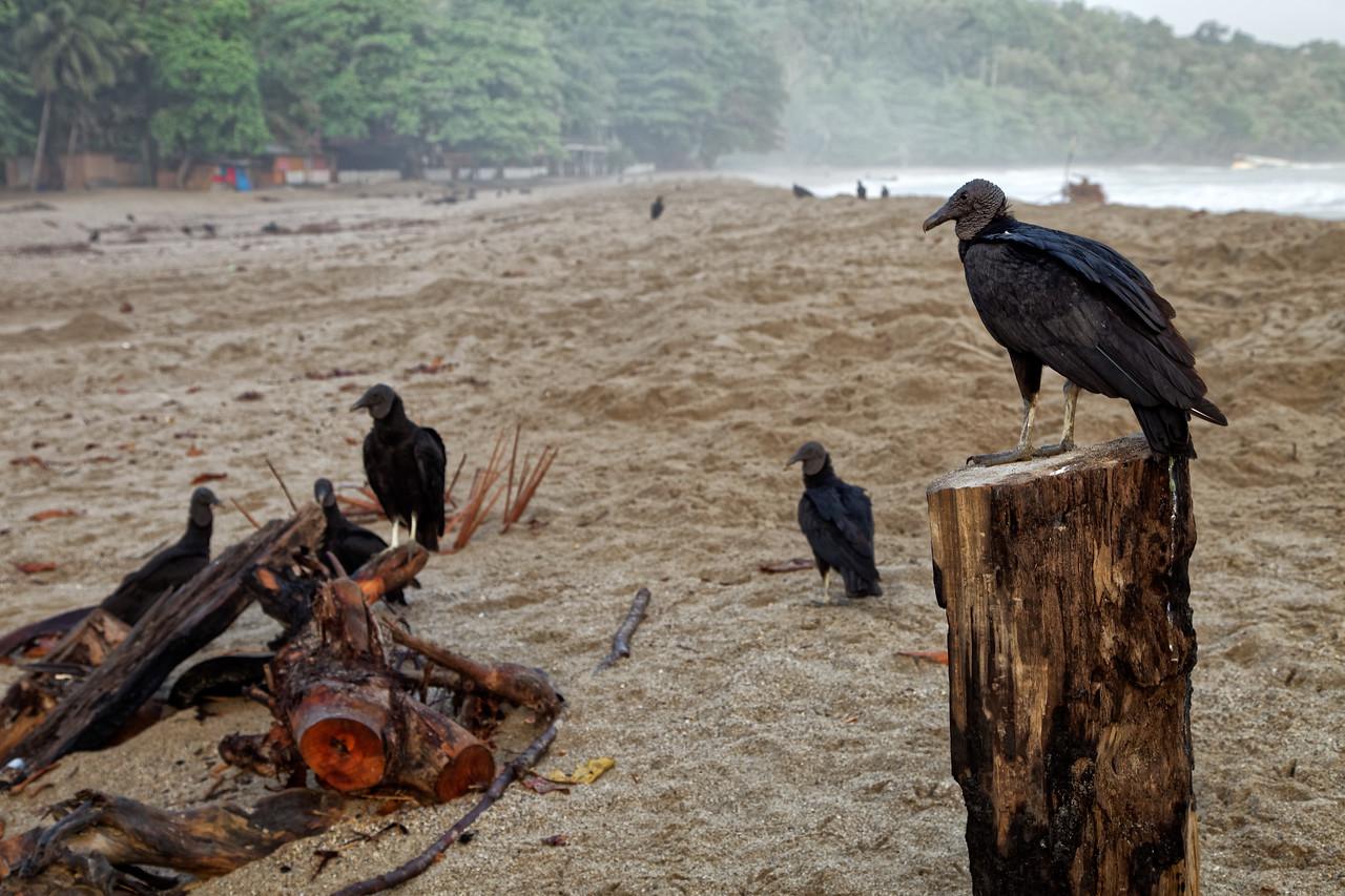 Vultures at Grande Riviere