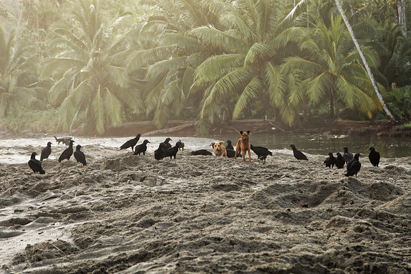 Dogs and black vultures look for turtle eggs, Grande Riviere, Trinidad