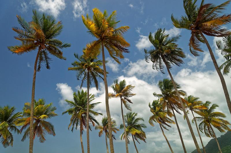 Coconut trees, Maracas Bay