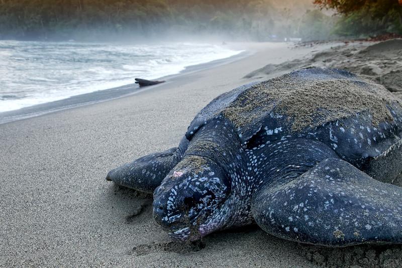 Leatherback turtle, Grand Riviere