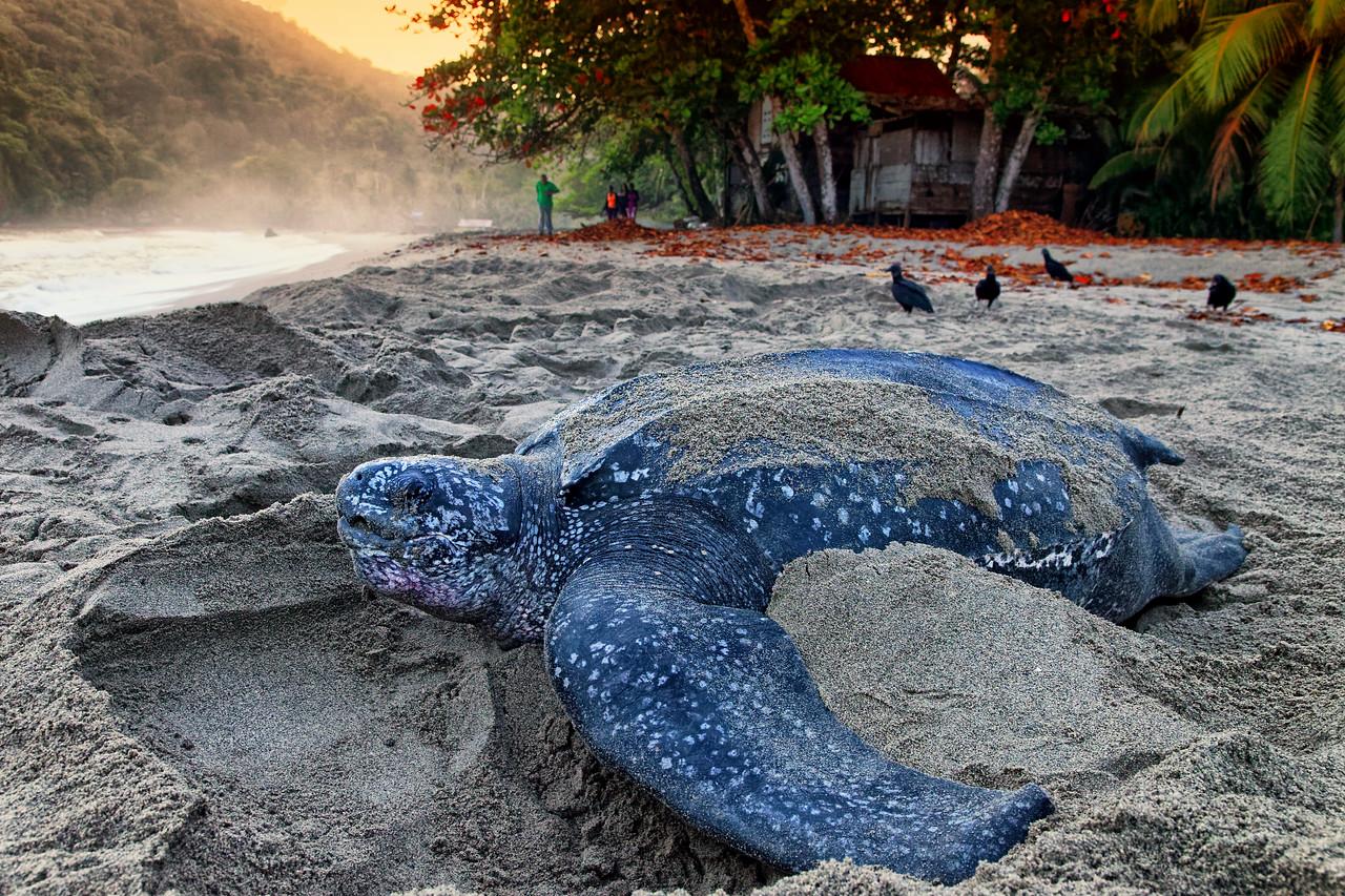 Leatherback turtle nesting, Grand Riviere