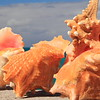 Conch Shells and Starfis