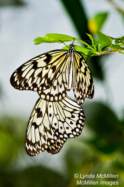 """A matched pair.  (Also see the """"Butterflies of St. Martin"""" gallery)"""