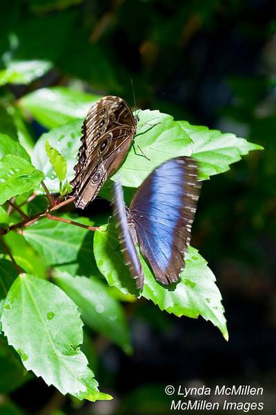 """St. Martin Butterfly Farm during mating season!  (Also see the """"Butterflies of St. Martin"""" gallery)"""