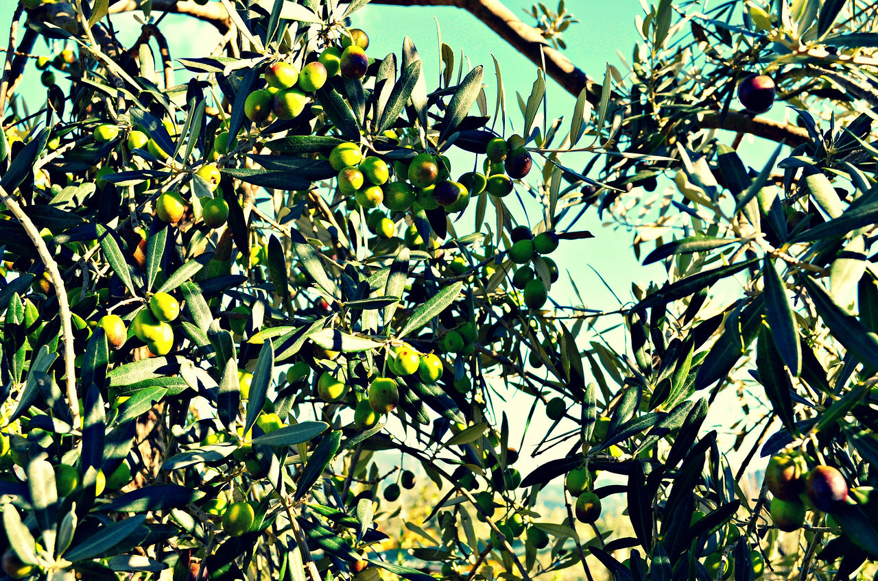 Olive Trees In Tuscany