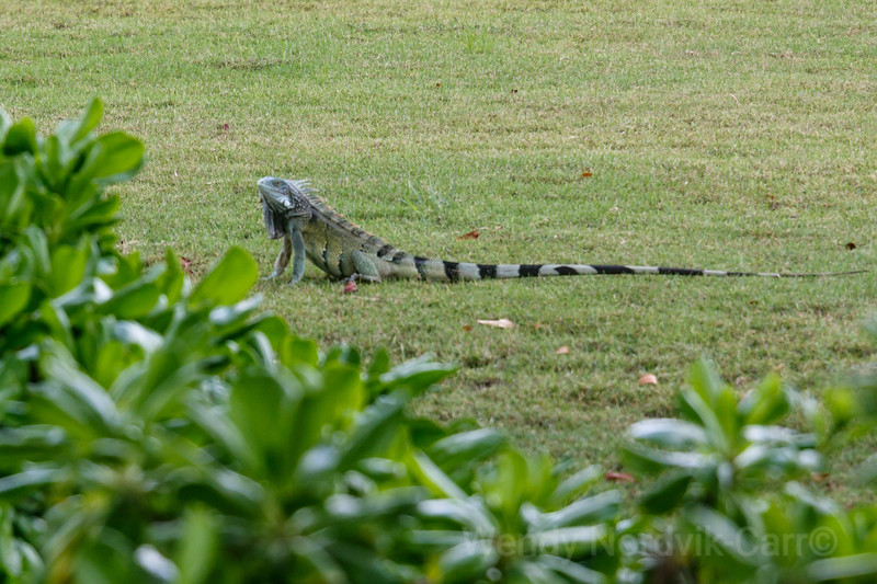 Iguana stands in a tropical garden on the Caribbean Island  Curaçao