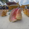 A display of large conch shells in the Caribbean