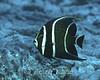French Angelfish (Pomacanthus paru) - Bonaire, Netherlands Antilles
