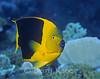 Rock beauty (Holacanthus tricolor) - Bonaire, Netherlands Antilles