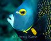French Angelfish (Pomacanthus paru) - Roatan, Honduras