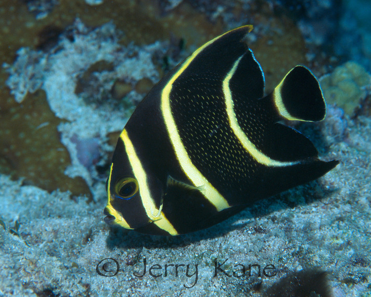 French Angelfish, int. (Pomacanthus paru) - Cozumel, Mexico