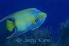 Queen Angelfish (Holocanthus ciliarisi) - Roatan, Honduras
