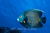 French Angelfish (Pomacanthus paru) - Bonaire, Netherlands Antilles