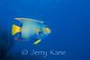 Queen Angelfish (Holocanthus ciliaris) - Bonaire, Netherlands Antilles