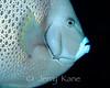 Gray Angelfish (Pomacanthus arcatus) - Cozumel, Mexico